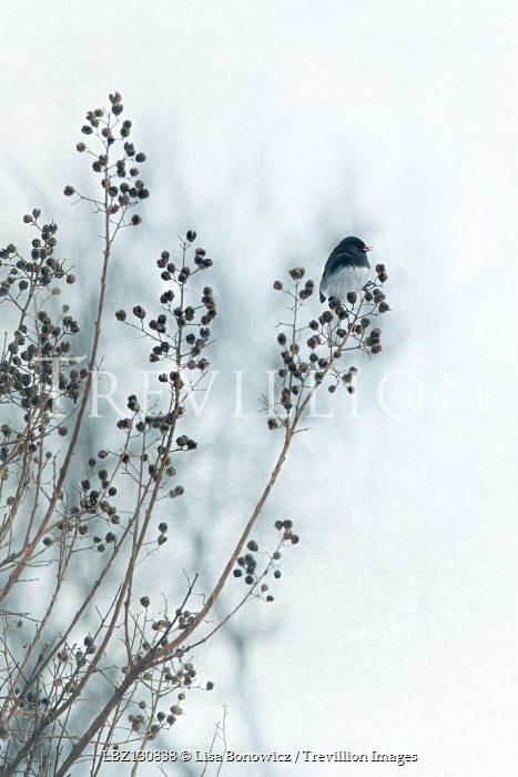 Lisa Bonowicz BIRD ON BUSH IN WINTRY COUNTRYSIDE Birds