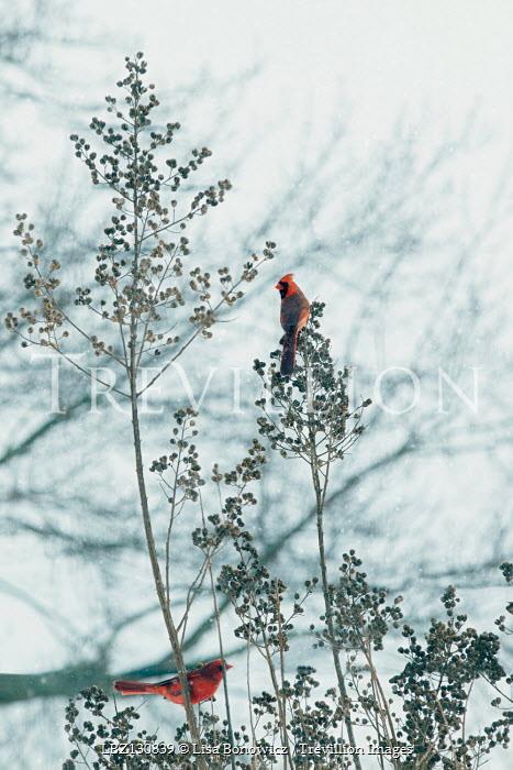 Lisa Bonowicz SMALL RED BIRDS SITTING IN BUSH IN WINTER Birds