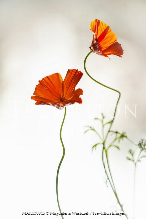 Magdalena Wasiczek DELICATE PAIR OF ORANGE FLOWERS Flowers/Plants
