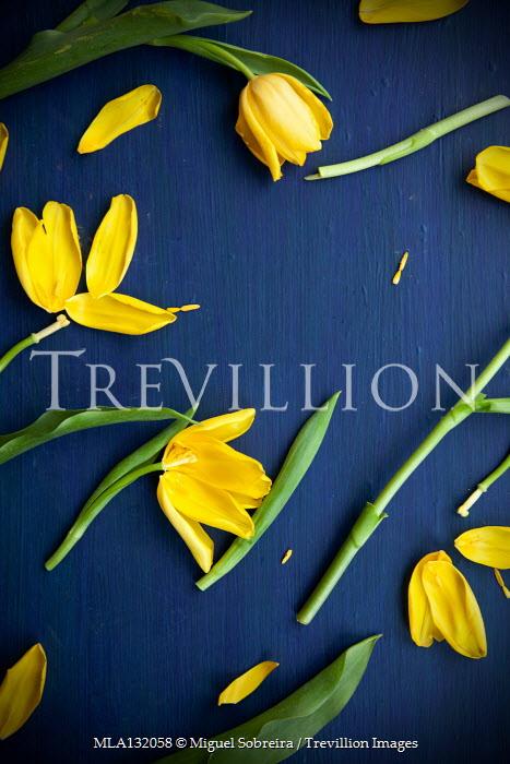 Miguel Sobreira DAMAGED YELLOW TULIPS Flowers