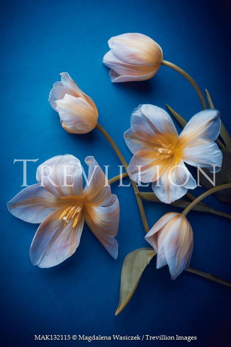 Magdalena Wasiczek WHITE AND YELLOW TULIPS Flowers