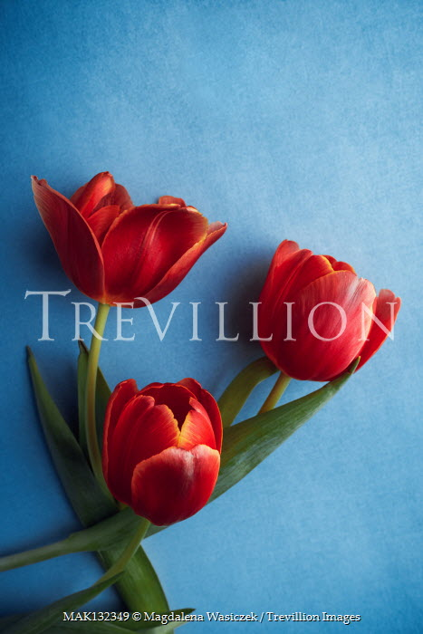 Magdalena Wasiczek THREE RED TULIPS ON BLUE BACKGROUND Flowers