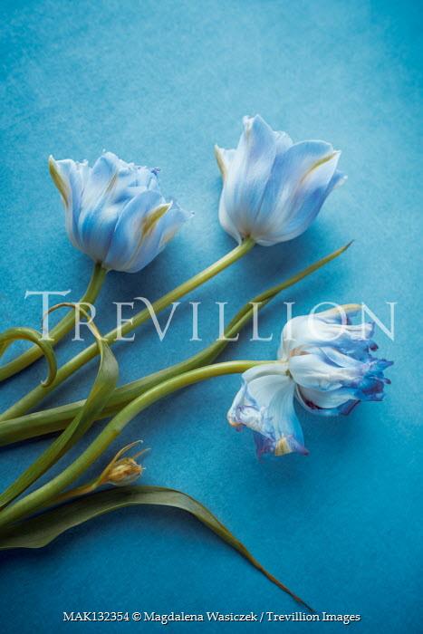 Magdalena Wasiczek THREE WILTING BLUE TULIPS Flowers