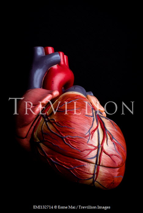 Esme Mai MODEL OF HUMAN HEART Miscellaneous Objects