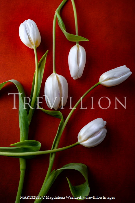 Magdalena Wasiczek WHITE TULIPS WITH SHADOW Flowers