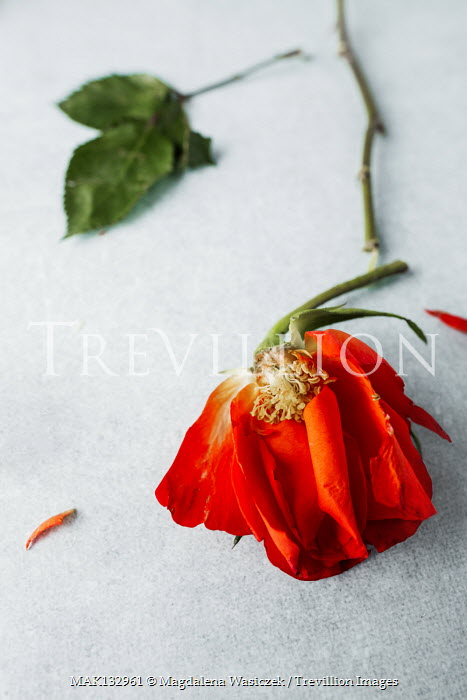 Magdalena Wasiczek CLOSE UP OF DAMAGED ORANGE ROSE Flowers