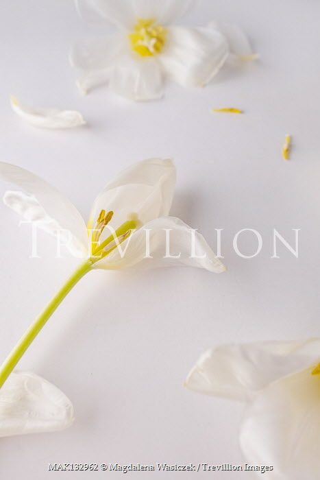 Magdalena Wasiczek WHITE FLOWERS LYING WITH SCATTERED PETALS Flowers
