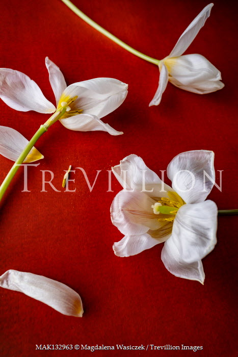 Magdalena Wasiczek WHITE FLOWERS LYING ON RED BACKGROUND Flowers