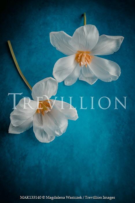 Magdalena Wasiczek TWO WHITE FLOWERS ON BLUE BACKGROUND Flowers