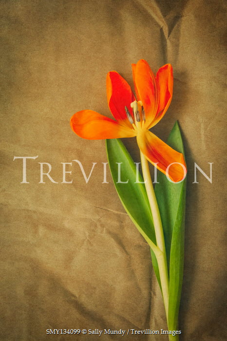 Sally Mundy ORANGE TULIP AND LEAVES ON PAPER