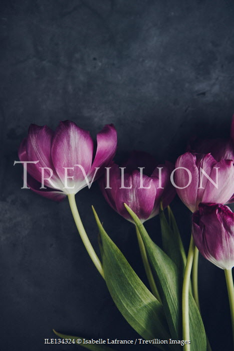Isabelle Lafrance CLOSE UP OF PURPLE TULIPS
