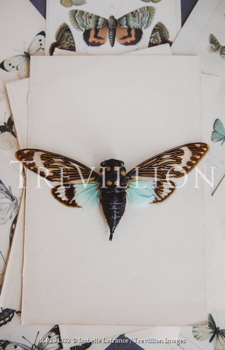 Isabelle Lafrance BUTTERFLY ON ILLUSTRATIONS OF BUTTERFLIES