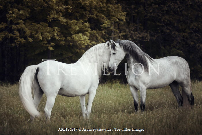 Anna Sychowicz White horses in field