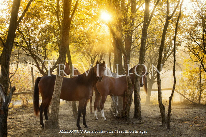 Anna Sychowicz GROUP OF HORSES BY SUNLIT TREES