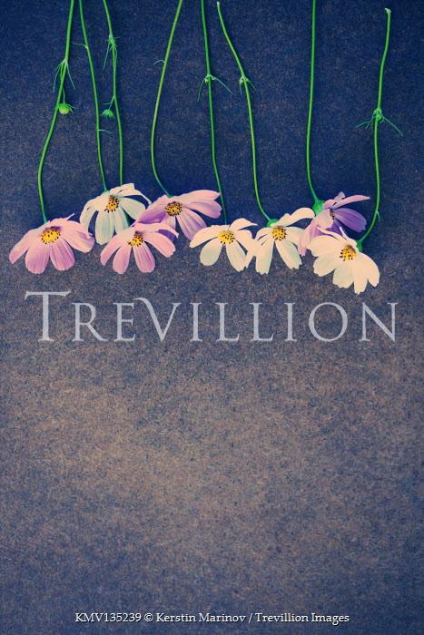 Kerstin Marinov ROW OF PINK AND WHITE FLOWERS