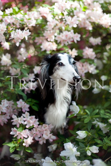 Susan Fox BLACK AND WHITE DOG SITTING IN BUSH WITH FLOWERS