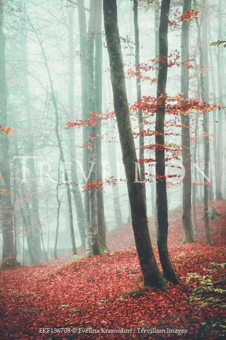 Evelina Kremsdorf TREES IN MISTY FOREST WITH AUTUMN LEAVES
