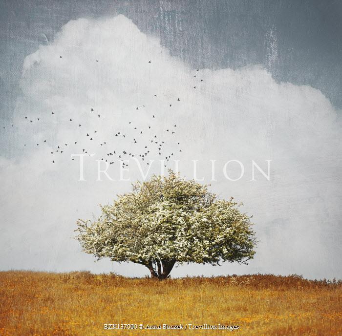 Anna Buczek TREE IN BLOSSOM IN GOLDEN FIELD