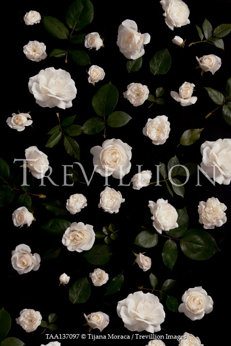 Tijana Moraca WHITE ROSES AND LEAVES
