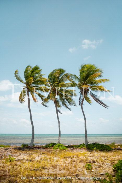 Evelina Kremsdorf THREE PALM TREES ON WINDY BEACH