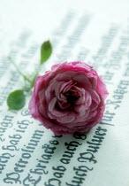 Ilona Wellmann PINK ROSE ON MANUSCRIPT Flowers/Plants
