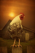 Mohamad Itani SPECKLED COCKEREL BY STONE BARN Birds