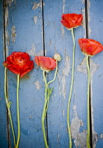 Jenn DiGuglielmo RED FLOWERS ON BLUE WOOD Flowers/Plants