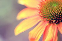 Nicole Wustrack CLOSE UP OF ORANGE FLOWER OUTSIDE Flowers/Plants