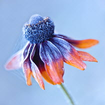 Magdalena Wasiczek CLOSE UP OF FROSTY FLOWER OUTSIDE Flowers/Plants