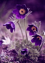 Magdalena Wasiczek CLOSE UP OF PURPLE FLOWERS OUTSIDE Flowers/Plants