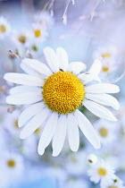 Stephanie Frey DAISY FLOWERS Flowers/Plants