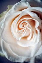 Sally Mundy CENTRE OF PEACH ROSE FLOWER Flowers