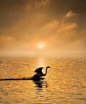 Adrian Leslie Campfield SWAN IN SUNLIT WATER AT SUNSET Birds