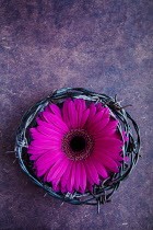 Isabelle Lafrance Purple flower in barbed wire circle