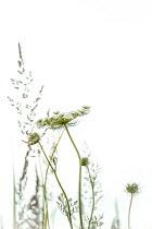 Magdalena Wasiczek Wild flower of Daucus carota and grasses