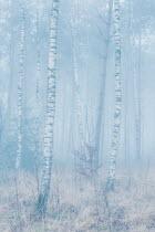 Ysbrand Cosijn Birch trees in foggy forest