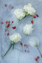 Magdalena Wasiczek flowers and rose hips frozen in water Flowers/Plants