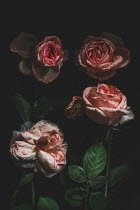 Magdalena Wasiczek CLOSE UP OF FOUR WILTING ROSES Flowers