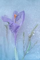 Magdalena Wasiczek PURPLE CROCUS FLOWER IN ICE Flowers/Plants