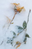 Magdalena Wasiczek yellow roses in ice Flowers/Plants