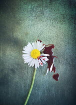Mark Owen DAISY AND PICKED PETALS WITH BLOODSTAIN Flowers