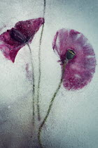 Carmen Spitznagel CLOSE UP OF TWO FROZEN POPPIES Flowers