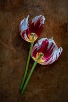 Magdalena Wasiczek HALVES OF TWO TULIPS Flowers