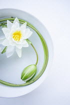 Isabelle Lafrance WHITE LOTUS FLOWER IN BOWL OF WATER Flowers