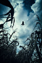 Magdalena Russocka close up of corn field and bird
