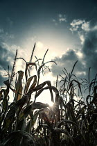 Magdalena Russocka SUNLIT CORNFIELD AT SUNSET Fields