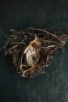 Matilda Delves SMALL DEAD BROWN BIRD IN NEST Birds