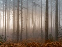 Trevor Payne FOGGY FOREST WITH BRACKEN Trees/Forest