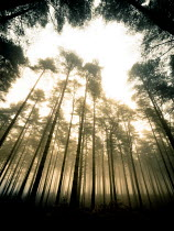 Trevor Payne TALL TREES IN FOGGY FOREST Trees/Forest