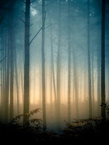 Trevor Payne FOGGY FOREST WITH FERNS AT SUNSET Trees/Forest